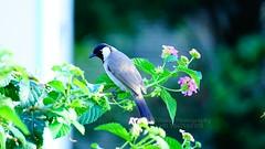 Bulbul (Navas Peravoor) Tags: bulbul bird flower blossom sonya6000