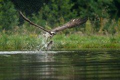 Caught! (Louise Morris (looloobey)) Tags: aq7i5390 osprey pandionhaliaetus fish july2016 highlands scotland fishing earlymorning lake fishery rothiemurchus