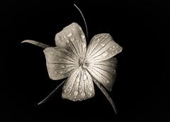 Corn cockle in the rain (JaniceNZ) Tags: flower corncockle raindrops petals