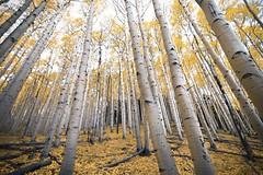 Aspen Forest in Flagstaff, AZ (www.arayphoto.com) Tags: autumn fall hiking trail innerbasin national wilderness west mountains forest trees aspen arizona az flagstaff