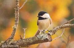 Sweet Autumn Chickadee. (nature55) Tags: blackcappedchickadee chickadee bird aves nature wildlife autumn fall mercer wisconsin fallcolors