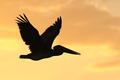 Brown Pelican Inflight at Sunset (dbadair) Tags: bird flight sunset tierra verde fl wildlife