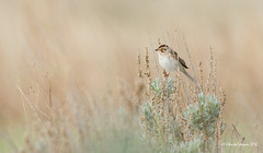 The Clay-colored Sparrow (Chantal Jacques Photography) Tags: bird wildandfree bokeh depthoffield claycoloredsparrow buzz buzzsound prairies shrublands greatplains perch naturalperch birdscape