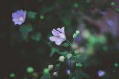 (mrscaramelle) Tags: mrscaramelle helios 402 402 helios402  manualfocus manualfocuslens manuallens manual summer flowers flower green purple violet beautiful nature riga latvia canon canon60d 60d 60 bokeh