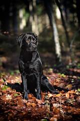 Bichou (uwe.kast) Tags: labrador labradorretriever labradorredriver welpe puppy hund dog nikon nikond3 d3 wald