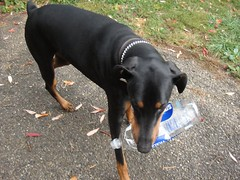 1476978141_2016_Oct_20_11-42-21_waterbottle127 (yclept8) Tags: doberman julie