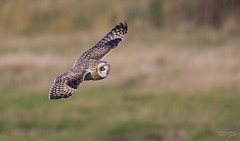 Short Eared Owl in flight (cogs2011) Tags: shortearedowl 7dmarkll sigma150600c inflight bif great best eye yellow