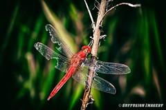 10-09-2015_18.39.08--D700-37-device-2000-wm (iSuffusion) Tags: d700 tampa tokina100mm28macro dragonfly florida insects macro nikon gibsonton unitedstates us