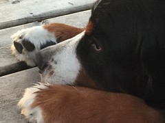 Lost in thought (tracydonald) Tags: switzerland vancouverisland daredevil paw thought animal dog pet moses swisskiss bernese pointnopoint shirley black white brown