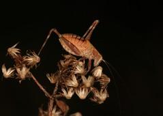 IMG_6049(1) (Roving_photographer) Tags: tettigoniidae nymph grasshopper brown hornsby sydney nsw australia