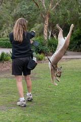 Caracal. (LisaDiazPhotos) Tags: lisadiazphotos caracal sdzsafaripark sdzoo sandiegozoo sandiegozooglobal sandiegozoosafaripark sandiego