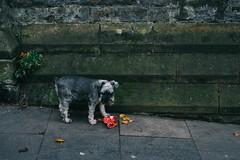 (Steve Gallazzi) Tags: nikon d610 sigma sigmaart 50mm street streetphotography edinburgh edinburghstreetphotography scotland people city autumn dog