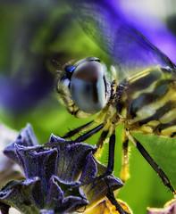 DragonFly_SAF3149 (sara97) Tags: dragonfly flyinginsect insect missouri mosquitohawk nature odonata outdoors photobysaraannefinke predator saintlouis urbanpark copyright2016saraannefinke