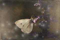 Where  colour  field  meets  canvas And  the  picture  breathes  you  in. ~ elbow ~ (allyson.marie) Tags: magic autumn animal nature insect delicate white purple butterfly paintfxpaintfx