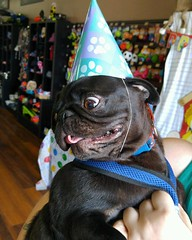 (amy hit the atmosphere) Tags: pug puglife blackpug dog cute pugdog puppy pet adorable hat birthday party celebration petvalu