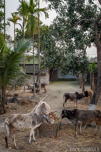 Gdzieś na wsi. Assam