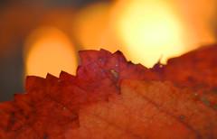 Backlit (Snowflake110) Tags: macromonday backlit macro fire bokeh leaf edge