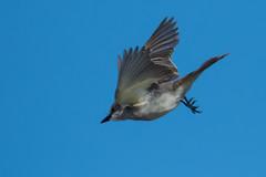 grey kingbird Hyannis Port--3 (Robert Slott) Tags: flying greykingbird natureplus hyannis