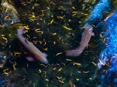 Fast Food (Steve Taylor (Photography)) Tags: fish black blue green west yellow water river stream newzealand nz southisland canterbury christchurch willowbank wildlifereserve leaves blur reflection ripple rainbow trout
