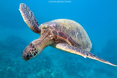 IMG_0122 copy (Aaron Lynton) Tags: spanish dancer snorkel scooter maui hawii hawaii canon g1x spanishdancer turtle honu tako octopus ocean animals papio yellowspotpapio starfish