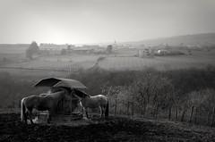 Please do not disturb... (aqlkmtzt34) Tags: nature horses chevaux enclosure enclos village country campagne monochrome rhnealpes france