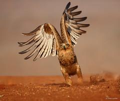 Tawny Eagle - Aquila rapax-9060 (Theo Locher) Tags: tawnyeagle roofarend aquilarapax vogels birds southafrica zuidafrika zimangagamereserve mkuze copyrighttheolocher zimanga