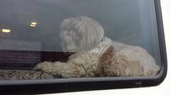 Rockwell J. Gobshite (twm1340) Tags: shihtzu dog hardeman county tx texas rest area stop us287 highway