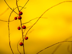 Asparagus berries (Unni Henning) Tags: asparagusberries red berries allotment autumn plant outdoor garden macro closeup bokeh yellowbackground warwickshire england edibleplant produce growing nature