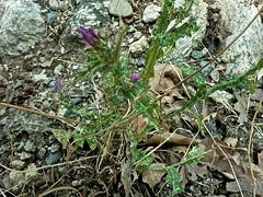 Cirsium creticum 3 (heinvanwinkel) Tags: 2013 kastraki