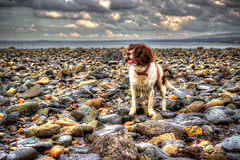 Mollie on the pebbles at Trefor Harbour (Missy Jussy) Tags: wales gwynedd trefor pebbles beach harbour sky horizon sea landscape land beachscape dog englishspringer springerspaniel spaniel animal canon dogportrait 50mm canon50mm