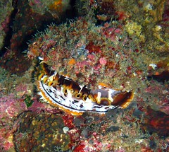 clam looking very Star Wars like  -  good (Carpe Feline) Tags: carpefeline mauritius scubadiving ocean reefs morayeels anemonefish scorpionfish lionfish arrowcrab nudibranch needlefish underwater