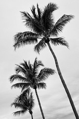 Winter Palms (waarondaniel) Tags: coastal miami bw 35mm18g nikon d3300 florida sky palmtrees monochrome blackandwhite