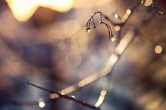 Rain and Shine (flashfix) Tags: november162016 2016 2016inphotos nikond7000 nikon ottawa ontario canada 40mm rain droplets bokeh branches tree nature mothernature pink blue lines grain earlymorning hbw