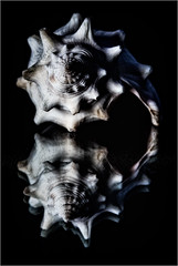 Shell and reflection (ronnymariano) Tags: stilllife seashell mollusk shadow closeup monochrome extensiontubes dark fish animal detail nature 2016 macro light shell