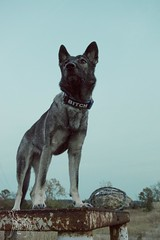 20161113-DSC_0955 (Kaiguin17) Tags: german shepherd dog silver sable east czech post apocolypse protector working bitch oswin run clever girl rusty guardian grain sunset