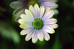 Almost like a... disguised innocence! (Pensive glance) Tags: daisy marguerite flower fleur plant plante