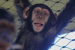 09-09-2016-taronga 045 (tdierikx) Tags: 09092016taronga tarongazoo taronga tdierikx chimpanzee fumo