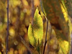 (photo ephemera) Tags: centraloregon ya101929 leaf leaves salix willow