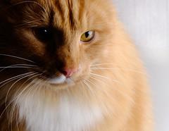 Thinking (DanielSvensson) Tags: cat eye eyes katt katze fotosondag fotosöndag photosunday fs161204 mystik mystery 7dwf