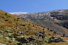 Val d'Aosta - Valsavarenche: vallone di Levionaz, salendo a Levionaz Dessus: il branco di stambecchi (mariagraziaschiapparelli) Tags: valdaosta valsavarenche levionaz casolaridilevionaz camminata escursionismo allegrisinasceosidiventa stambecco capraibex pngp parconazionaledelgranparadiso montagna mountain