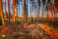 color and light (Geert Weggen) Tags: tree plant nature landscape birch forest ground branch light sweden park leaves sunset mountain sun ray rock autumn winter ice frost shadow icejmtlandsnowswedenwintergeertweggenhardekofoxjmtland ragunda geert weggen
