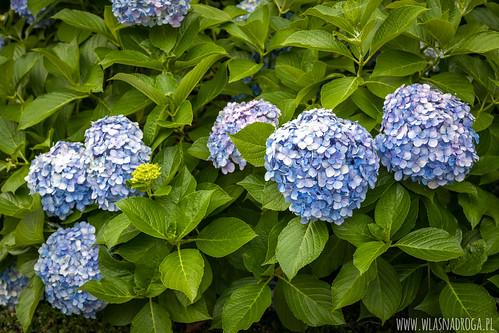 Niebieska hortensja kwitnąca w Japonii od czerwca do połowy lipca