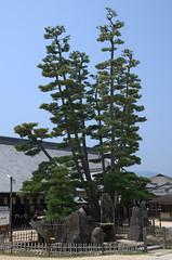 Trees in Miyajima