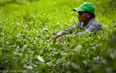tea pickers Galle (christophe monteil) Tags: tea srilanka galle teapickers monteil christophemonteil chrismonteil poquitochris