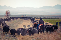 Trailing the Herd (www.toddklassy.com) Tags: road ranch travel autumn horse brown man mountains west male fall dusty beautiful animals horizontal rural work fence landscape outdoors countryside vanishingpoint moving cowboy montana day driving mt cattle cows many farm beef country working tan culture lifestyle hills trail riding western fields prairie copyspace roadside tradition agriculture chinook pastoral rancher longline livestock hardwork herd idyllic wildwest horseback gravel equine agricultural ranching roundup quarterhorse steers oldwest greatplains blackangus herding trailing groupofanimals documentaryphotography roundingup blainecounty malsam