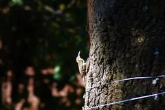 Arapaçu de cerrado (Lepidocolaptes angustirostris) (djalmacine) Tags: fauna natureza passarinho pássaro ave livre fa araraquara marrom picapau arar arapaçu arapaçudecerrado