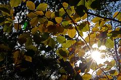 Sunny autumn (Wildlife Online) Tags: autumn color colour season newforest beech landscapephotography autumncolour treecolour beechleaf lightthroughleaves britishlandscape britishautumn colourfultree colourfulleaf newforestautumn marcbaldwin wildlifeonline autumn2015 colourchangeleaves autumnalbeechleaves