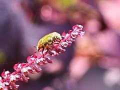 P9281411 (eriko_jpn) Tags: insect pinkflower flowerchafer eucetoniapilifera ハナムグリ 赤シソ