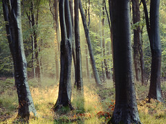 Down to the Woods (Explored) (Simon Verrall) Tags: morning autumn trees sunlight mist dawn sussex woods westsussex september morningmist beechtrees 2015 heyshott thesouthdowns