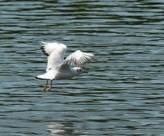 Black Headed Gull (jdathebowler Thanks for 755,000+ views.) Tags: nature seagull blackheadedgull greatphotographers naturescall
